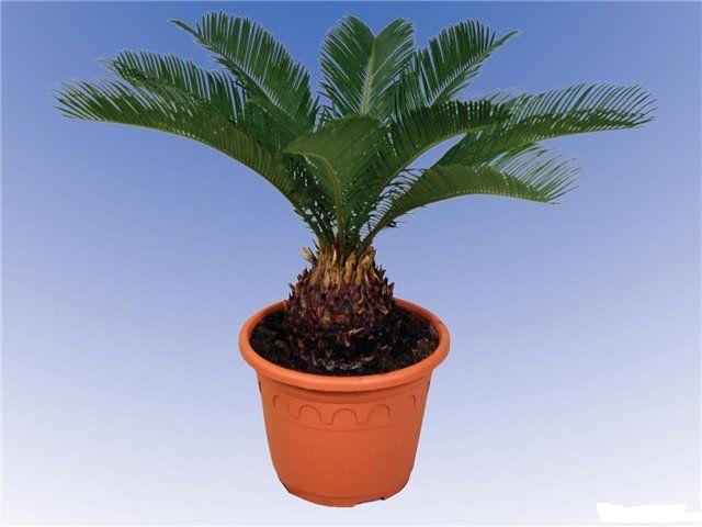 Цветок похожий на пальму