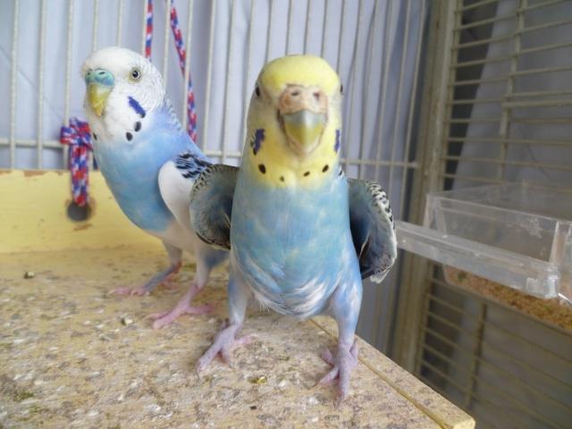 Чем волнистый попугай отличается от самки