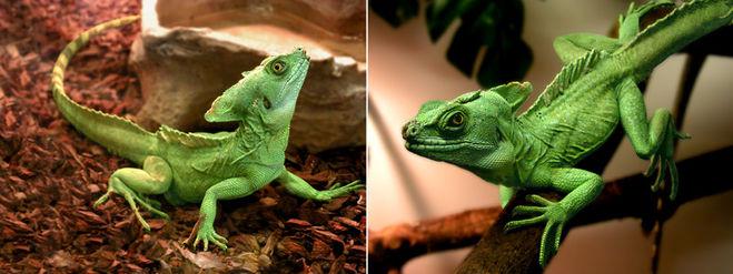 ящерица, зелёная, зоопарк, террариум