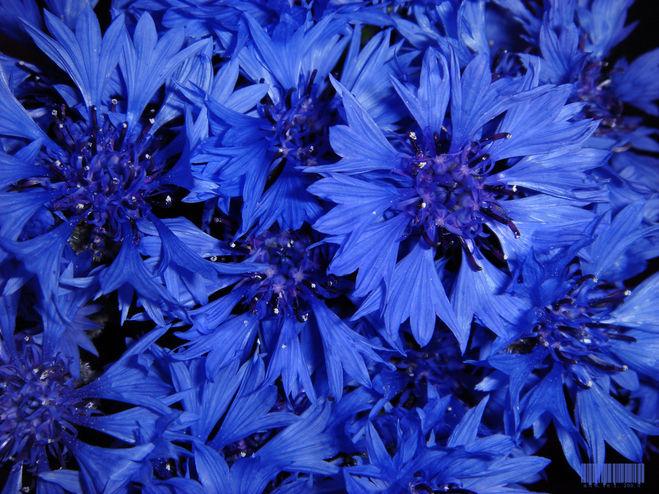 соловьи, тревожьте синий цвет фото картинки компания