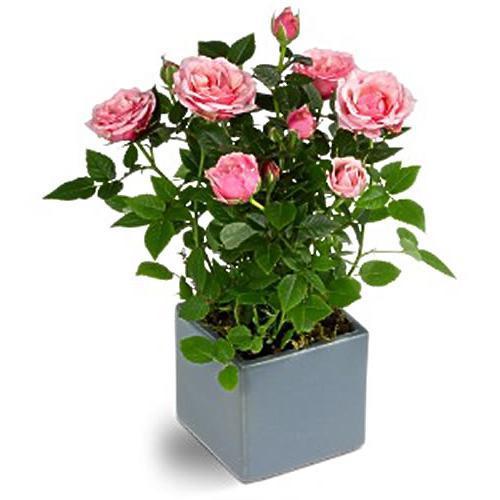 родина розы