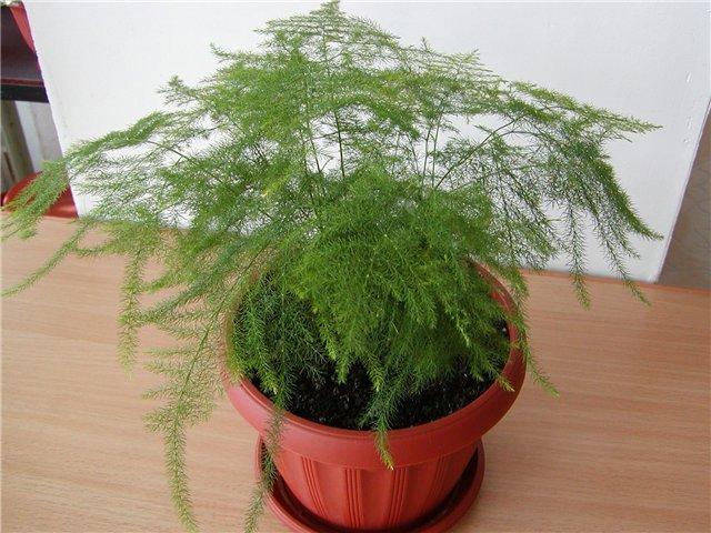 растения укроп