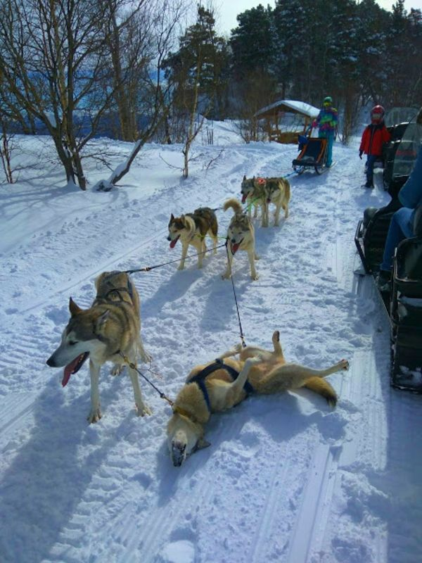 dogs sledge