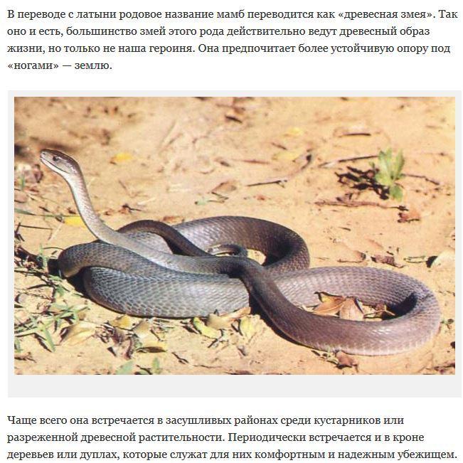 змея черная мамба преследует