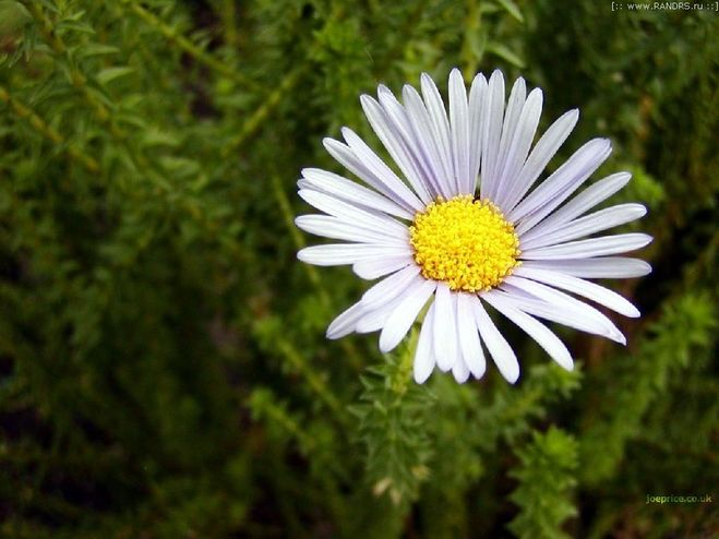 Фото цветы похожие на ромашки