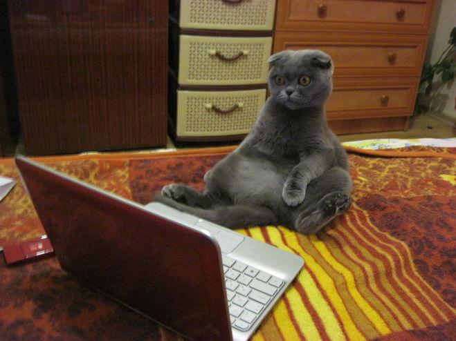 Почему шотландские кошки не сидят на руках