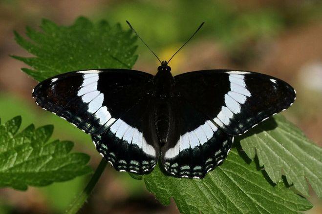 Бабочка крупная, необычной окраски