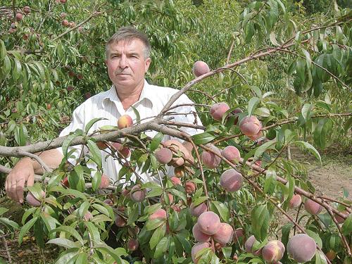 Своего фото нет, но персики точь в точь как эти