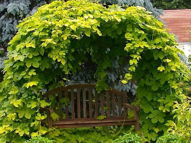 Вьющиеся растения можно посадить в