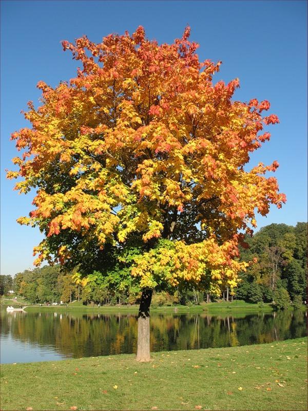 Как выглядит клен осенью рассказ