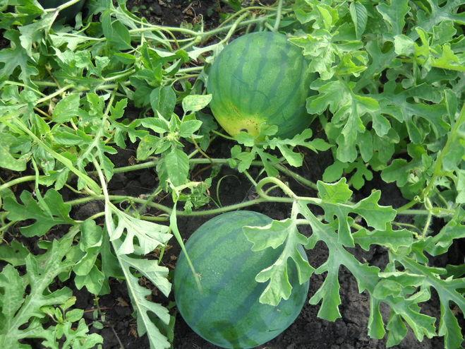Выращивание арбузов в центральной россии 7