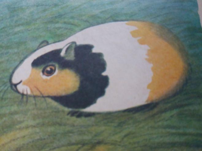117Как нарисовать морских свинок карандашом поэтапно
