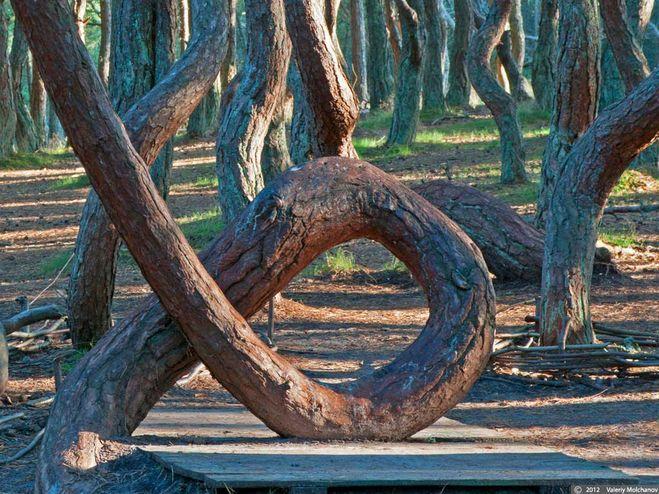 танцующий лес куршкая коса