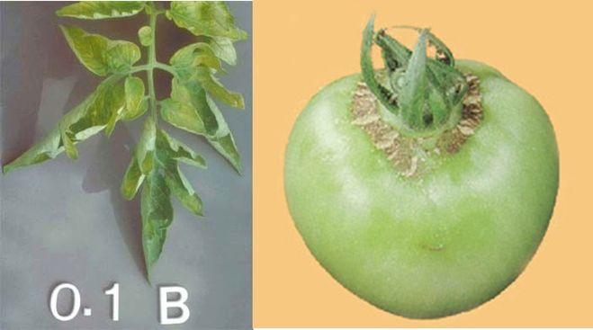 Чем брызгать рассаду помидор от болезней 4