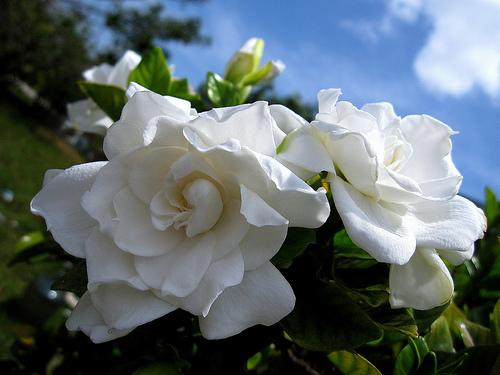 Квіти схожі на троянди але не троянди