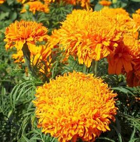 Когда сажать бархатцы: фото растения, в какое время сеять