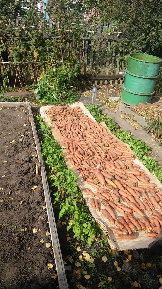 Когда сажать морковь в крыму 43