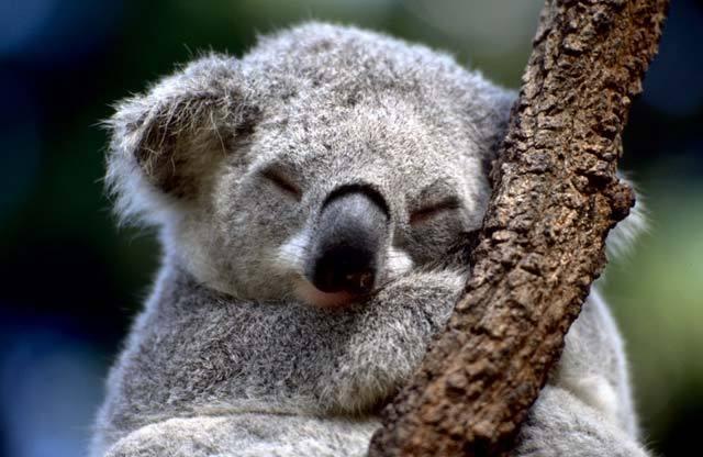 текст при наведении - коала