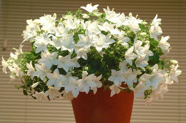 Комнатное растение невеста уход