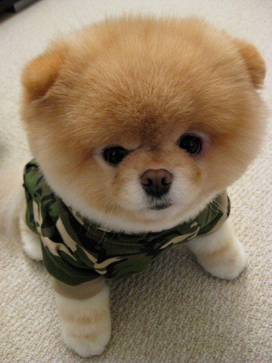 собак похожих на медвежат