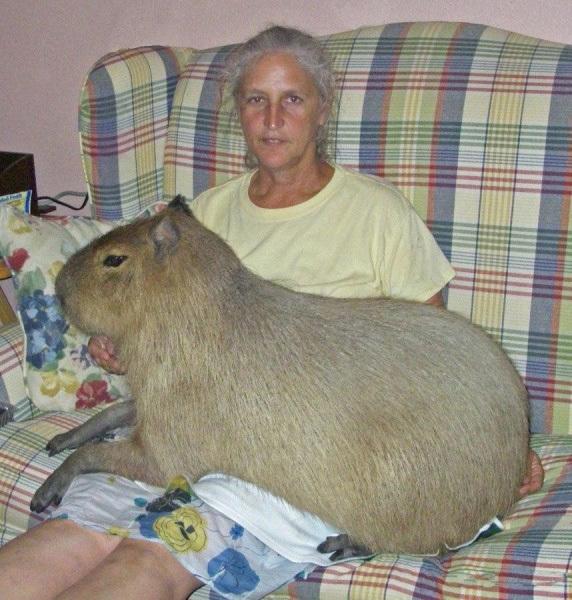 большая морская свинка