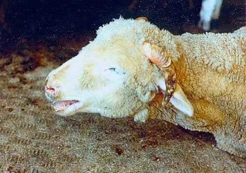 Отравление у теленка как лечить 32