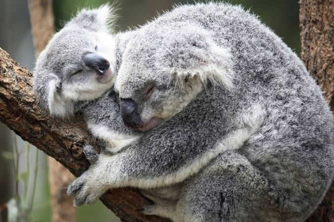 коалы