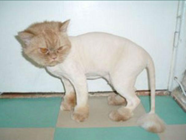 Стрижка кошки налысо