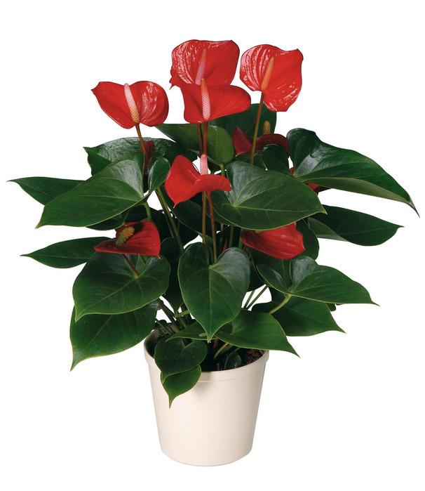 Как называется цветок похожий на каллу красного цвета
