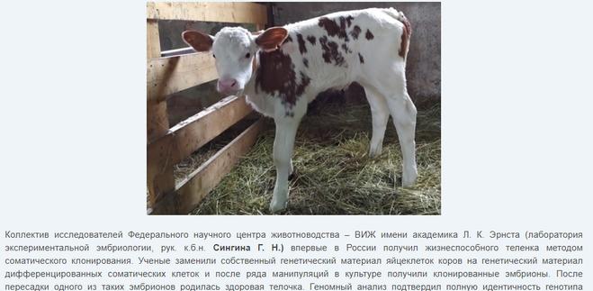 клонированный теленок, 2020 год, Россия