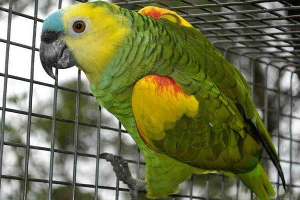 амазон попугай