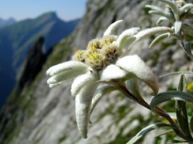 Эдельвейс как выглядит цветок