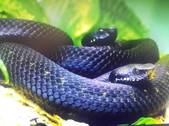 змеи мамба скорость