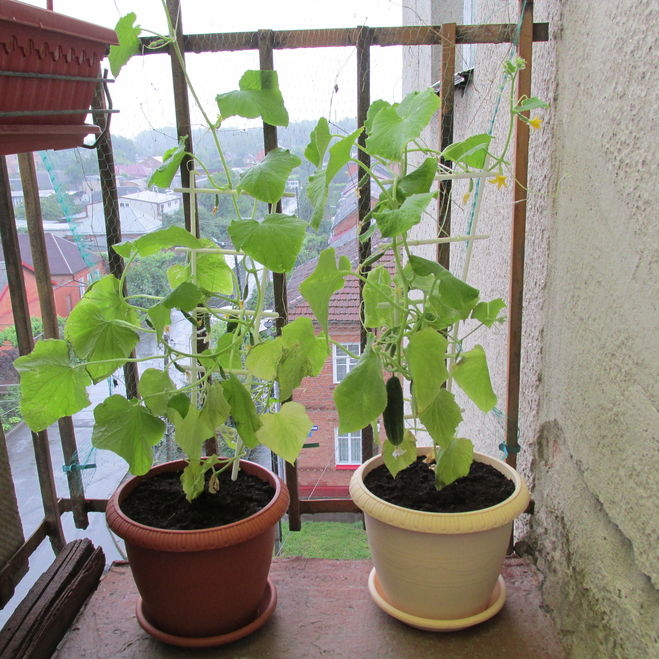 Выращивание на балконе 11