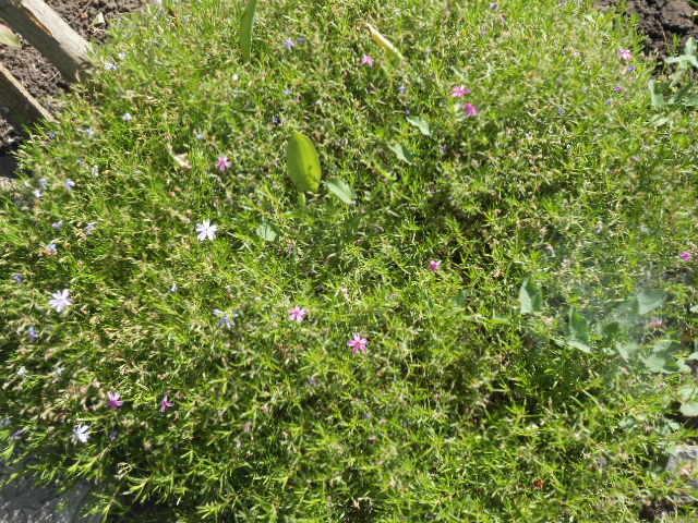 трава для альпийской горки