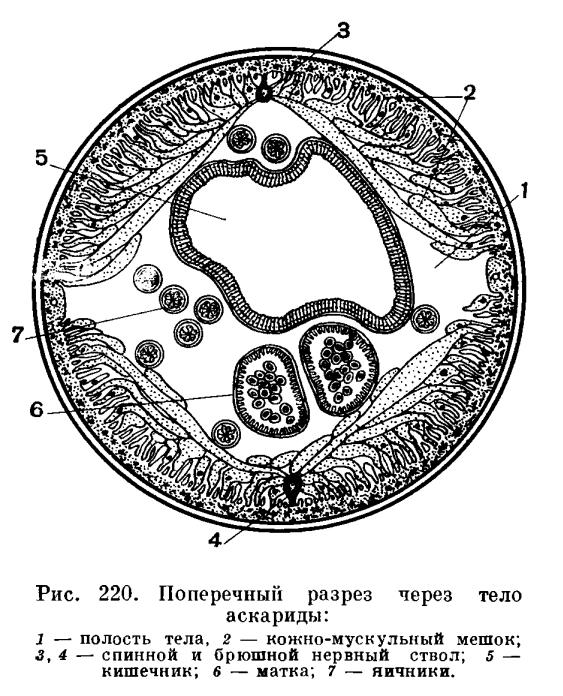 кутикула у круглых червей