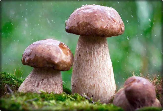 когда можно идти в лес за грибами