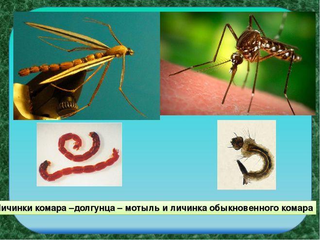 личинка комара