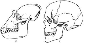 череп обезьяны и человека