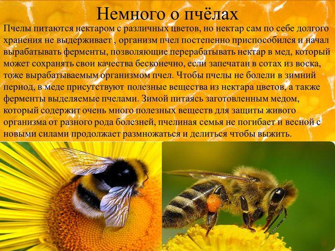 Доклад про пчел для детей 9563