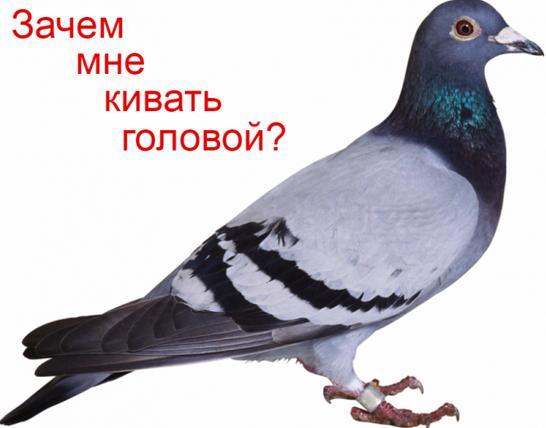 голуби кивают головой