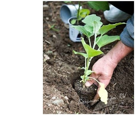 Как высаживать баклажаны в открытый грунт