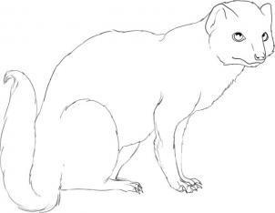 Как поэтапно нарисовать мангуста карандашом