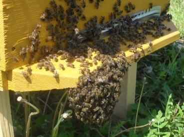 Почему улетели осенью пчелы из улья