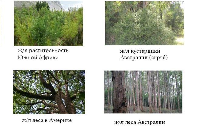 Жёстколиственные растительность Австралии, Африки, Америки