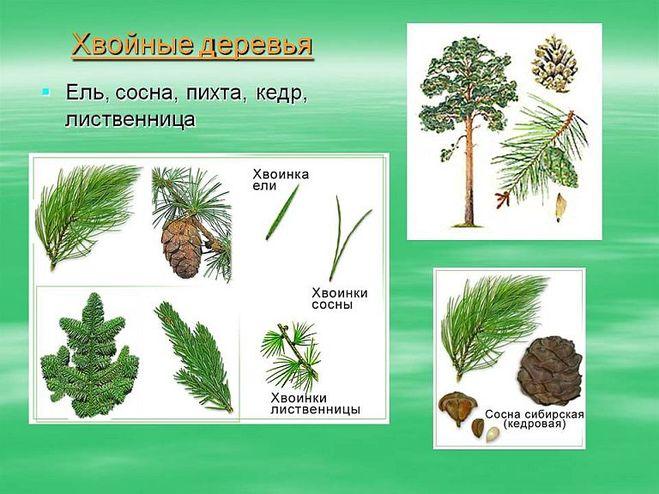 доклад хвойные растения