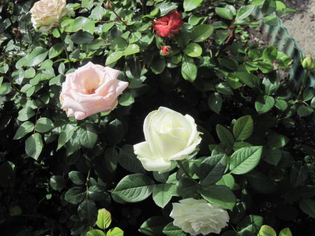 Розы сажают на расстоянии друг от друга