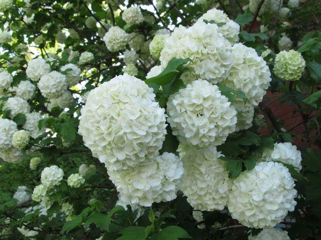 Как называются цветы белые шарики