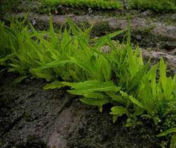 Салат спаржевый выращивание из семян 83