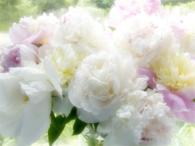 Пионы когда цветут